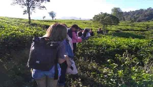tea walk